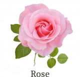 Essential scentoil  50 ml gr.1 Rose (perfume & essential...